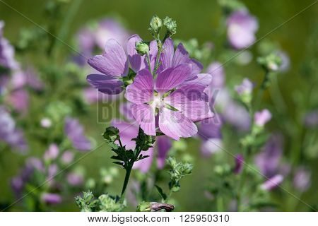 blooming musk mallow(Malva alcea cut-leaved mallow vervain mallow or hollyhock mallow) in summer