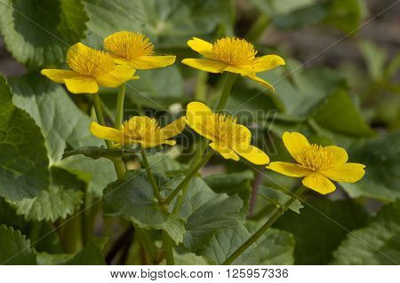 Marsh Marigold - Caltha palustris Six flowers against leaf background. ** Note: Shallow depth of field
