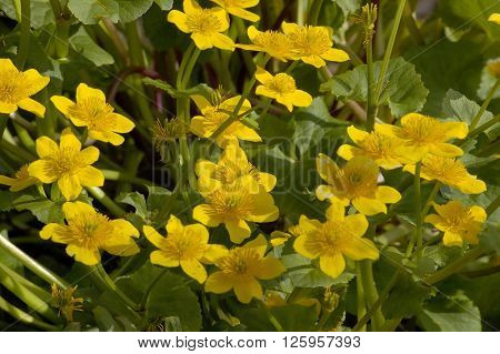 Marsh Marigold - Caltha palustris Whole plant mass of flowers. ** Note: Shallow depth of field