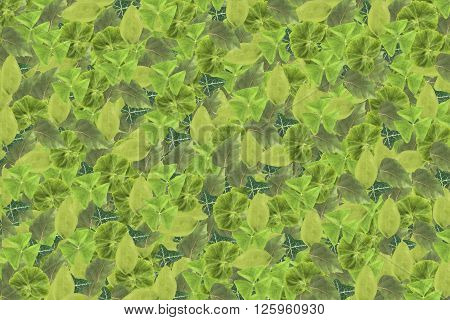 Background of green leaves of decoratoin plants. The texture of the foliage.