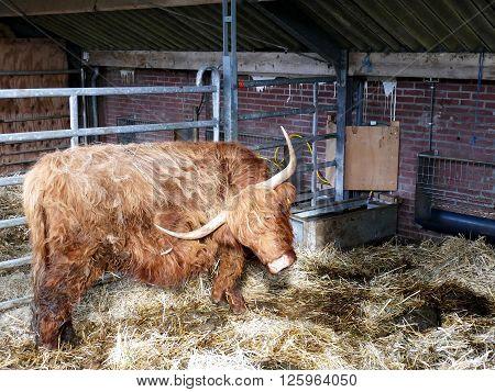 Scottish highlander in barn shaking her head