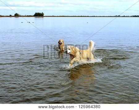 Labrador retriever running in water making water circles