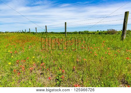 Orange Indian Paintbrush Wildflowers In A Texas Field With Fence