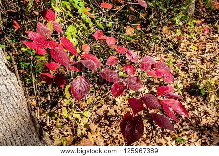 Small Red Leafed Plants in Oklahoma Park.