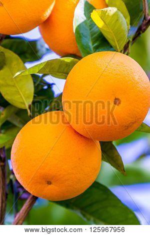 Orange Fruit Growing in a Tree in the Backyard
