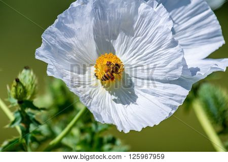 Closeup Of A Honey Bee On A White Prickly Poppy Wildflower Blossom  In Texas