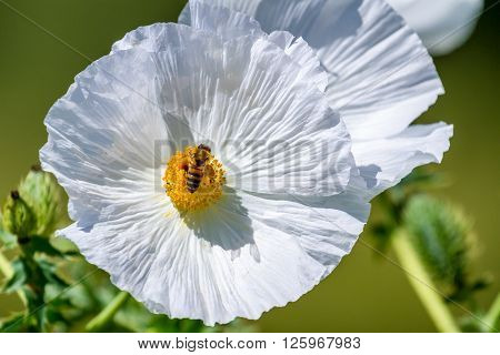 Closeup Of A White Prickly Poppy Wildflower Blossom With Bee In Texas