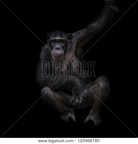 Thinking chimpanzee portrait close up at black background 2016