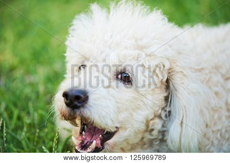 Barking Poodle On Grass
