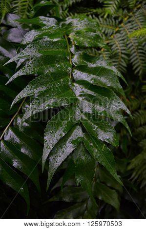 Water drops on fern fronds in the garden