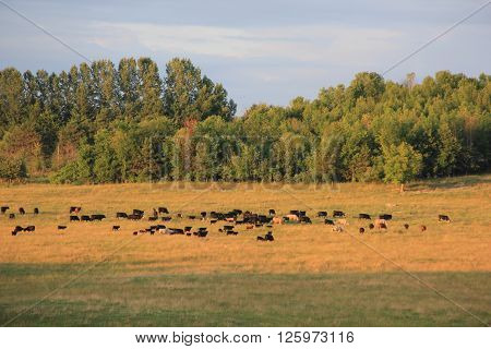 Cows in a field in Northern Michigan