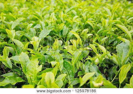 Tea bushes with leaves mountain plantation Cameron Highland, Malaysia