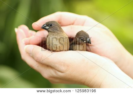 Scaly-breasted munia (Lonchura punctulata) bird on hand