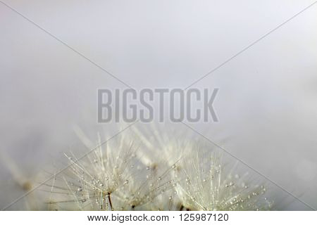 Macro Dandelion Seeds With Water Drops.