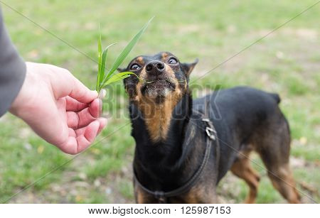 Dog eats grass from the hands of the owner. Dog breed Miniature Pinscher.