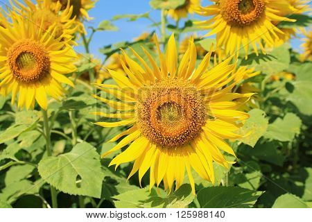 sunflowers in nature with blue sky background, with sunflowers farm, with sunflowers garden, with sunflowers concept, with sunflowers summer, with sunflowers background.