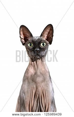 Close up portrait of a curious and surprised sphynx skinny cat with large standing ears, isolated on white background