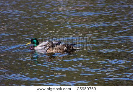 a pair of wild ducks on the lake