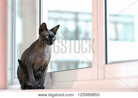 Cute sphynx hairless cat sitting like a statuette and staring in a window