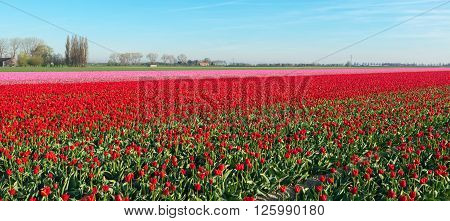 Large field in the Netherlands with red en pink flowering tulip bulbs on a sunny day in springtime.