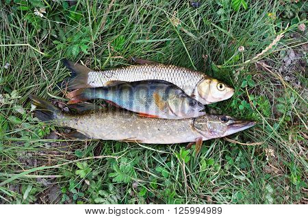 pike perch and chub lie on grass