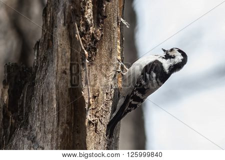 Lesser Spotted Woodpecker male sitting on a tree branch