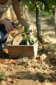 picture of naturel  - Harvest of grapes - JPG
