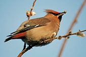 Cedar Waxwing With The Willow Buds.