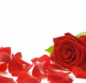 picture of red rose flower  - Red Rose  - JPG