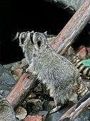 Two Raccoons.