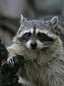 Thick Raccoon.