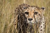 Постер, плакат: Cheetah Portrait In Tall Grass