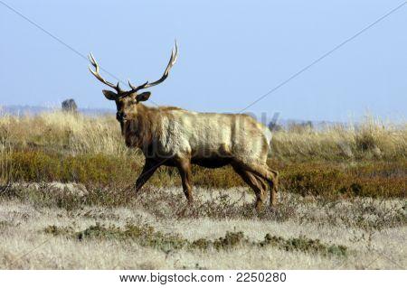 Elk Testing Our Nerve