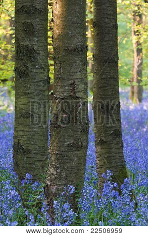 Bluebell Woods In England