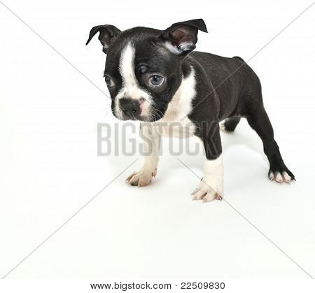 "Boston Terrier Puppy Saying ""i'm Sorry""."