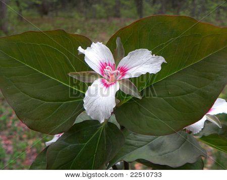 painted trillium flower white with pink center