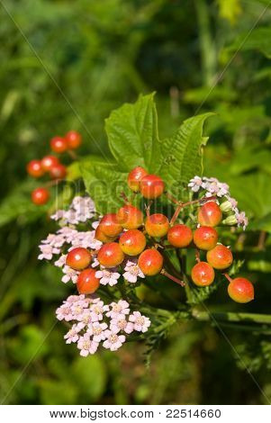 Viburnum And Yarrow