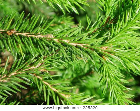 Needles Of A Fir-tree