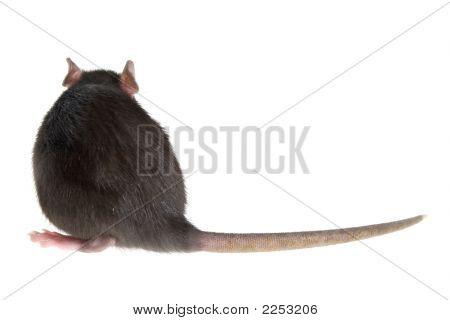Parte posterior de la rata