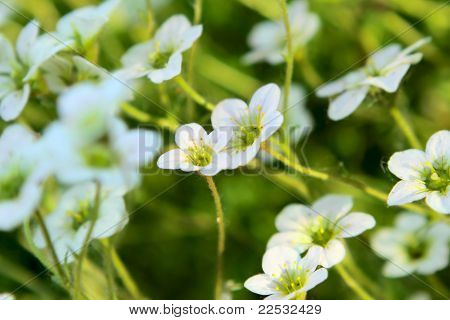 Saxifrage Flowers