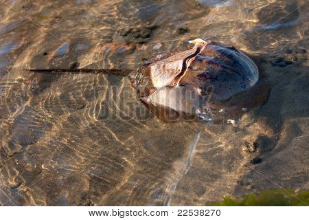 Horseshoe Crab Swimming