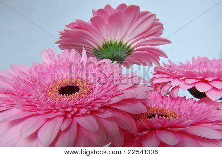 big pink hereberas