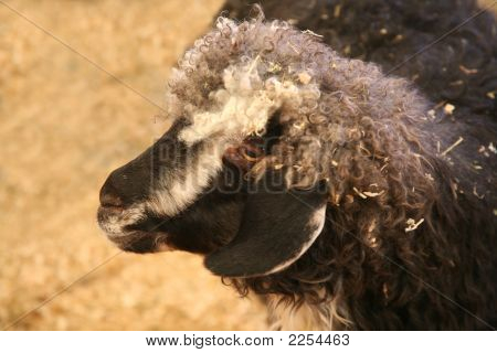 Goat Or Sheep