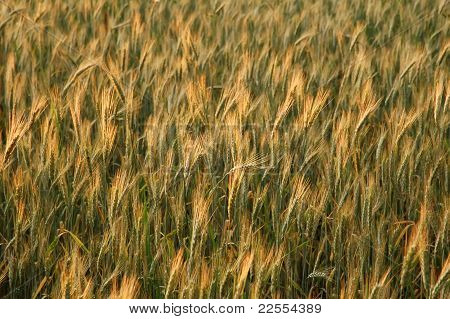 Field Of Golden Spikes