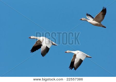 Three Snow Geese In Flight