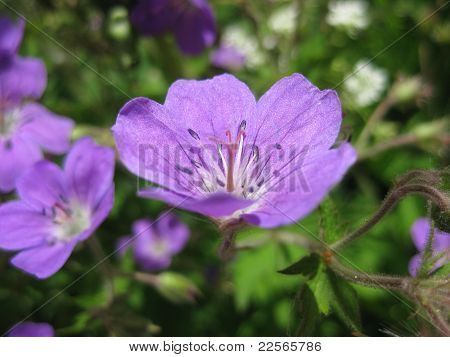 Geranium Sylvatica