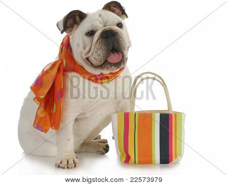 english bulldog wearing silk scarf with matching colorful purse on white background