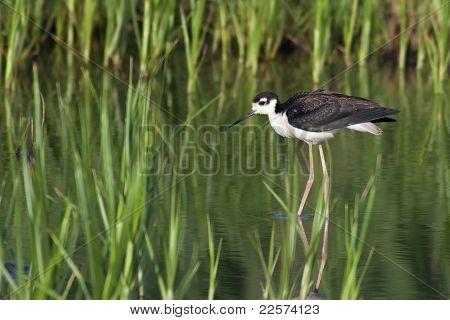 Black-necked Stilt In Habitat