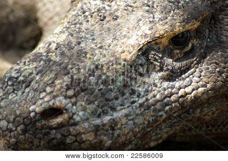 Head Of A Komodo Dragon