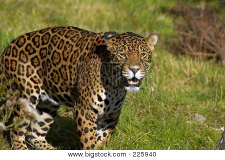 Jaguar On The Prowl